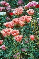 Clarkia amoena (Godetia) annual flower