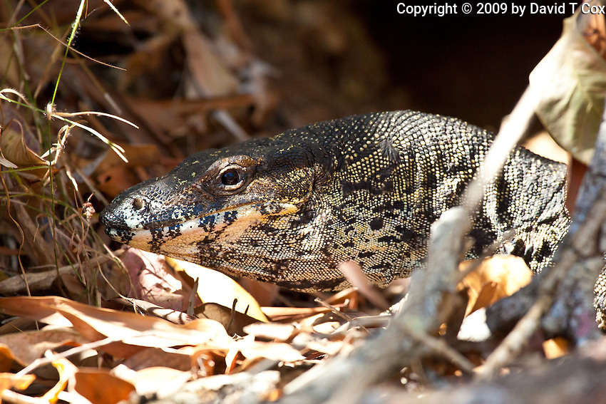 Lace Monitor, Paluma Range NP, Queensland, Australia