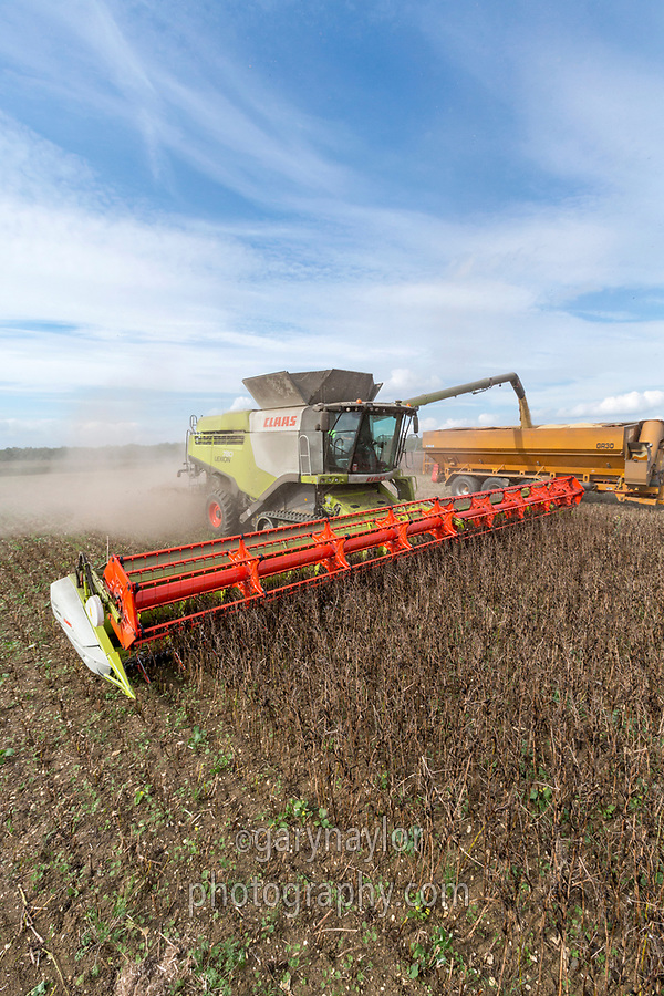 Harvesting winter beans - Suffolk, August