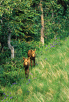 Twin spring moose calves, tundra, wild iris, near Denali National Park, Alaska