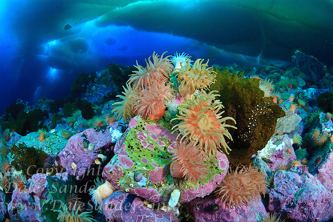 A colorful garden of anemones decorates the rocky seafloor beneath arctic ice in Admiralty Inlet off northern Baffin Island, Nunuvat, Canada.