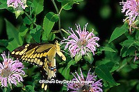 03017-005.18 Giant Swallowtail butterfly (Papilio cresphontes) on Wild Bergamot (Monarda fistulosa),  Marion Co. IL