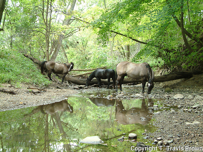 A trio of Quarter horses stop at a creek for a drink.