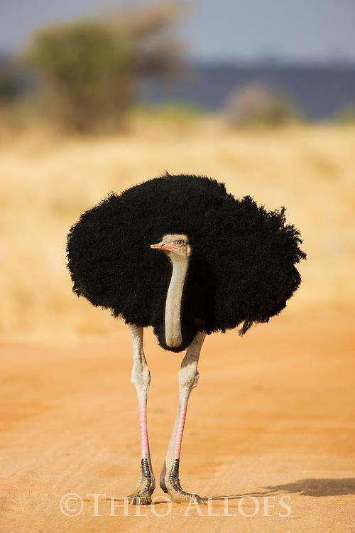 Male somali ostrich (Struthio camelus molybdophanes) portrait, Samburu National Park, Kenya