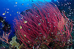 Red sea whips, Menella sp., and schooling tropical fish, Raja Ampat, Misool region, West Papua province, Indonesia, Pacific Ocean
