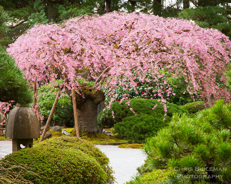 A 100 year old Weeping Cherry Tree (Prunus subhirtella) or Sakura is in full bloom of pink flowers in Spring surrounded by pine trees, stone lantern and azalea bushes in the flat garden of the Portland Japanese Garden