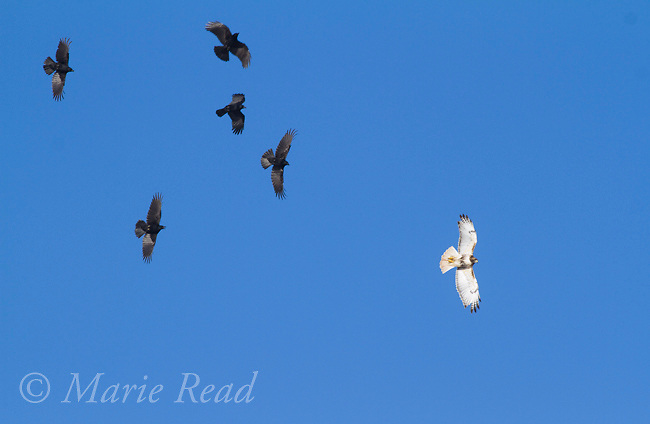 American Crows (Corvus brachyrynchos) group of five chasing Red-tailed Hawk (Buteo jamaicensis) in flight, Ithaca, New York, USA