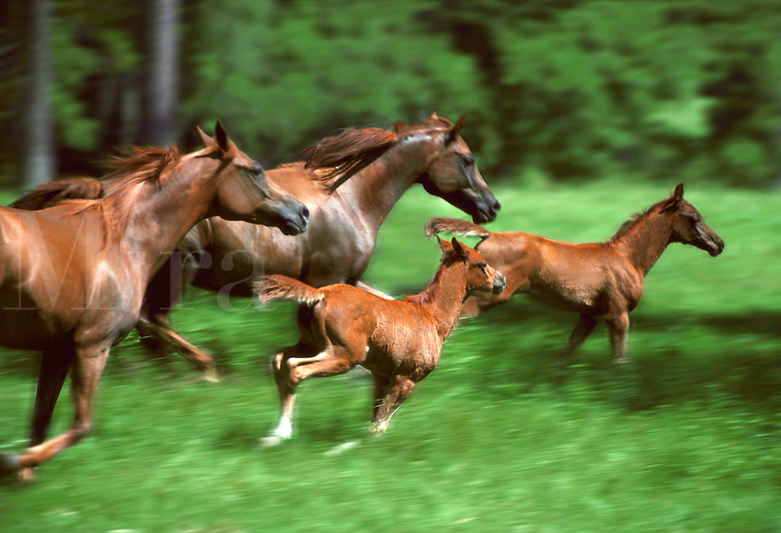 Arabian Horse mares with young foals gallop across an open paddock.