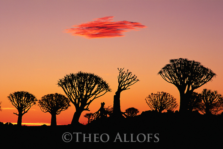 Quiver Tree Silhouettes at Sunset, Namib Desert, Namibia