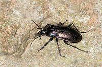 Hain-Laufkäfer, Hainlaufkäfer, Laufkäfer, Carabus nemoralis, Carabidae, forest ground beetle