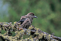 Spotted Nutcracker, Nucifraga caryocatactes, young, Wallis, Switzerland, May 1998
