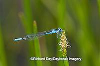 06101-001.04 Azure Bluet (Enallagma aspersum) male in wetland, Marion Co.  IL