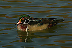 The wood duck (Aix sponsa) is an infrequent visitor to the National Mall.<br /> <br /> Constitution Gardens, Washington, DC