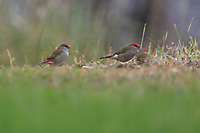 Red-browed Firetail (Neochmia temporalis temporalis) foraging in the grass on Kangaroo Island, South Australia, Australia.