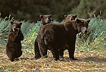 Alaskan Brown Bear (Ursus arctos) with three cubs in Southeast, AK