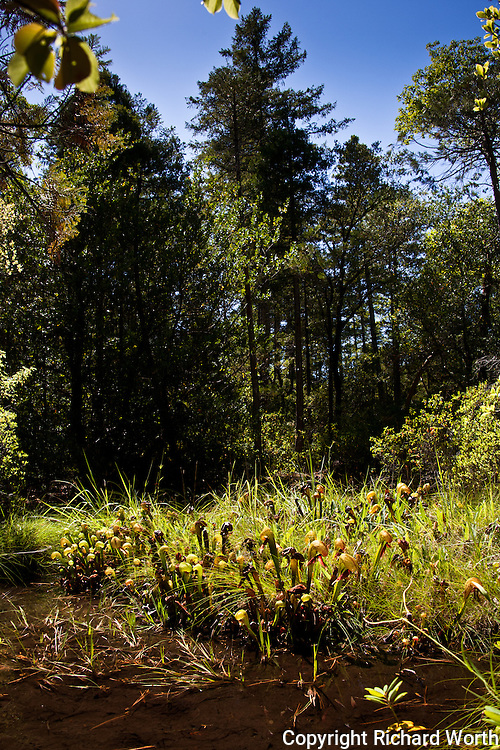 Darlingtonia californicas, California pitcher plants, or cobra lilies thrive in wet environments like seeps and bogs.  These are in the Darlingtonia Bog, Smith River National Recreation Area.