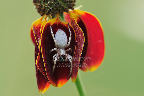 Orb-weaver spider (Araneidae), adult with prey perched on Mexican Hat (Ratibida columnaris), Dinero, Lake Corpus Christi, South Texas, USA