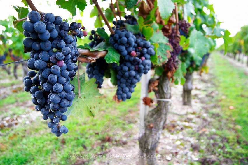 Bunches of ripe grapes. Cabernet Franc. Chateau Paloumey, Haut Medoc, Bordeaux, France.