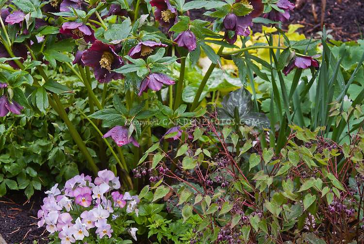 Viola Sorbet pansies and Helleborus Brandywine Hellebore,  Epimedium Violet Princess, Anemonella in spring bloom