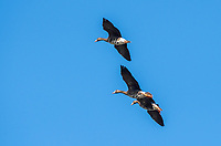 Greater White-fronted Geese, Anser albifrons, fly over Colusa National Wildlife Refuge, California