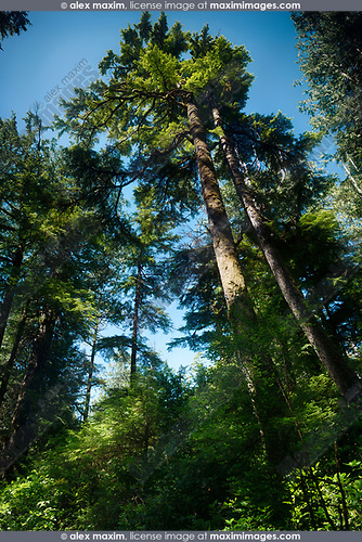 Beautiful Tall Douglas Fir trees at the Rainforest of Pacific Rim National Park, Tofino, Vancouver Island, BC, Canada. Image © MaximImages, License at https://www.maximimages.com