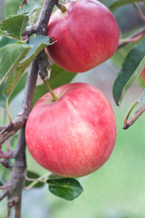 Apple 'Scrumptious', early September. A modern dessert variety that is frost hardy and easy to grow. A good choice for beginners. Juicy, sweet, and aromatic, with exellent flavour. May be ready for picking as early as August. Spur-bearer.