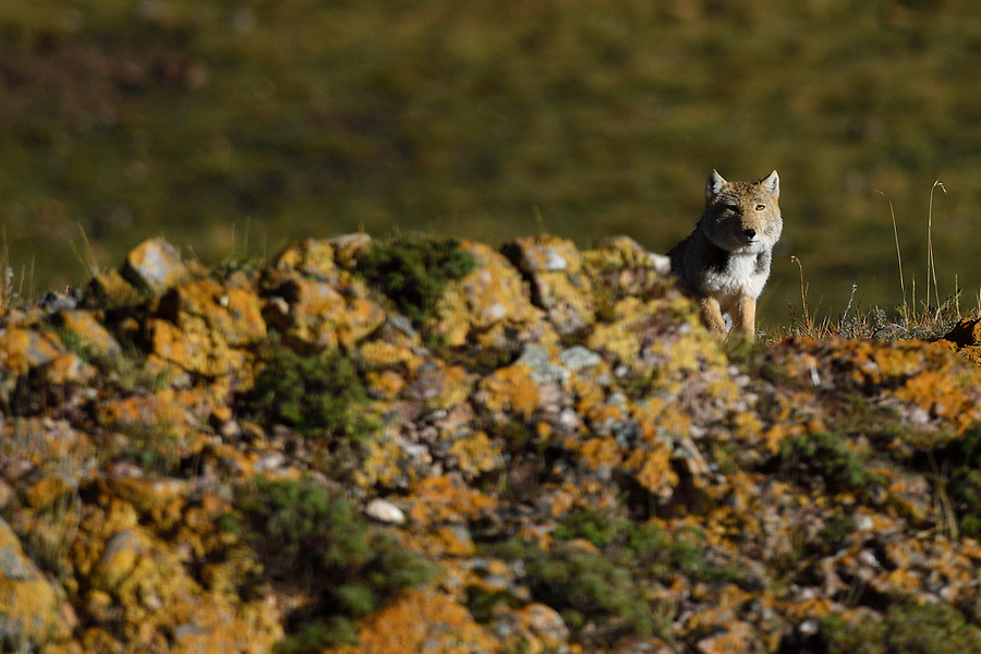 Tibetan sand fox (Vulpes ferrilata), Valley near Yushu, Tibetan Plateau, Qinghai, China
