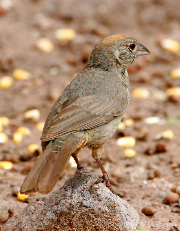 Adult canyon towhee