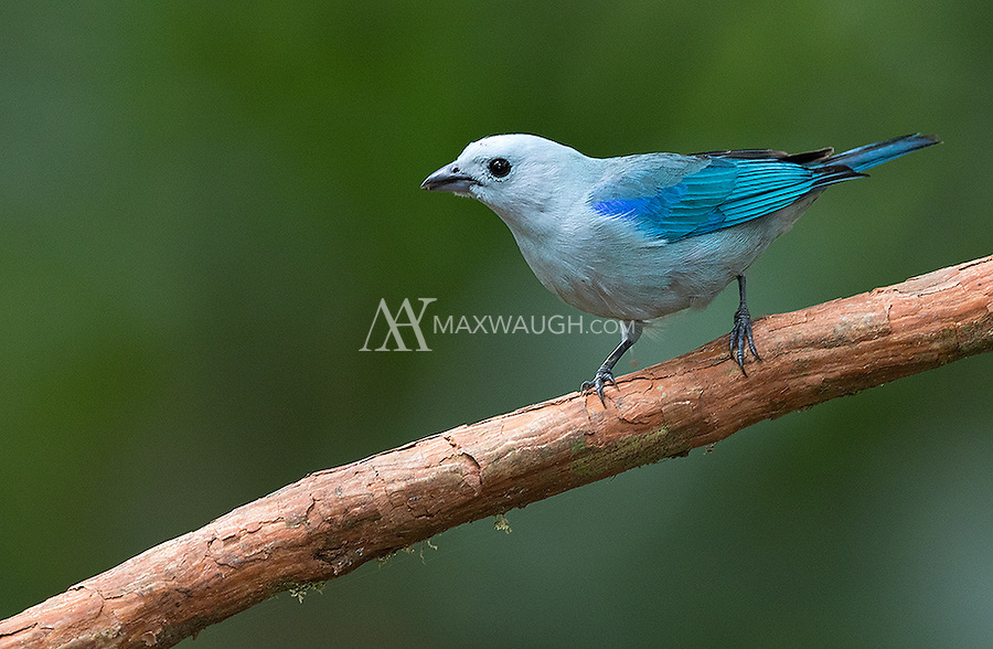 The Blue-gray tanager is one of the more common tanagers in Costa Rica.