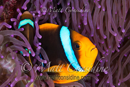 Two Clark's Anemonefish taking refuge amongst the tentacles of an anemone, Palau Micronesia. (Photo by Matt Considine - Images of Asia Collection) (Matt Considine)