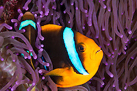 Two Clark's Anemonefish taking refuge amongst the tentacles of an anemone, Palau Micronesia. (Photo by Matt Considine - Images of Asia Collection)
