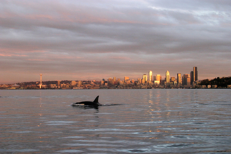 Seattle, Orca whale, Seattle skyline, waterfront, Elliott Bay, Puget Sound, Pacific Northwest, Washington State, USA, Orcinus orca;