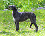 Scottish Deerhound<br /> <br /> <br /> Shopping cart has 3 Tabs:<br /> <br /> 1) Rights-Managed downloads for Commercial Use<br /> <br /> 2) Print sizes from wallet to 20x30<br /> <br /> 3) Merchandise items like T-shirts and refrigerator magnets