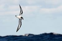 Bermuda Petrel - Pterodroma cahow