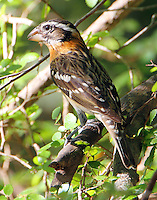 First winter male black-headed grosbeak