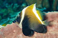 Humphead Bannerfish, Heniochus varius, Sebayor Kecil dive site, between Komodo and Flores Islands, Komodo National Park, Indonesia, Indian Ocean