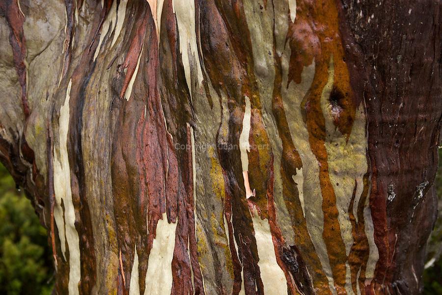 Under the rain, eucalypt trunks (alpine yellow gum, eucalyptus subcrenulata) moisten into deeper greens, browns, greys and pinks..Ecorces mutlicolores d'eucalyptus, alpine yellow gum (eucalyptus subcrenulata).