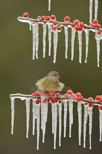 Orange-crowned Warbler (Vermivora celata), adult fluffed up perched on icy branch of Possum Haw Holly (Ilex decidua) with berries, Hill Country, Texas, USA