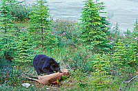 Black Bear (Ursus americanus) feeding on elk carcass.  Northern Rockies.  June.