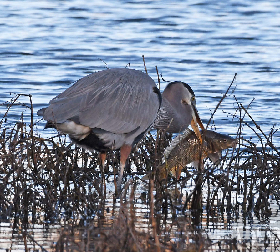 Courtesy photo/TERRY STANFILL<br /> GOT A BIG 'UN<br /> A great blue heron catches a sizeable carp at Siloam Springs Lake in mid December. Photographer Terry Stanfill of Decatur said the bird walked up the bank with the fish, laid it down and didn't eat it. It just walked away.