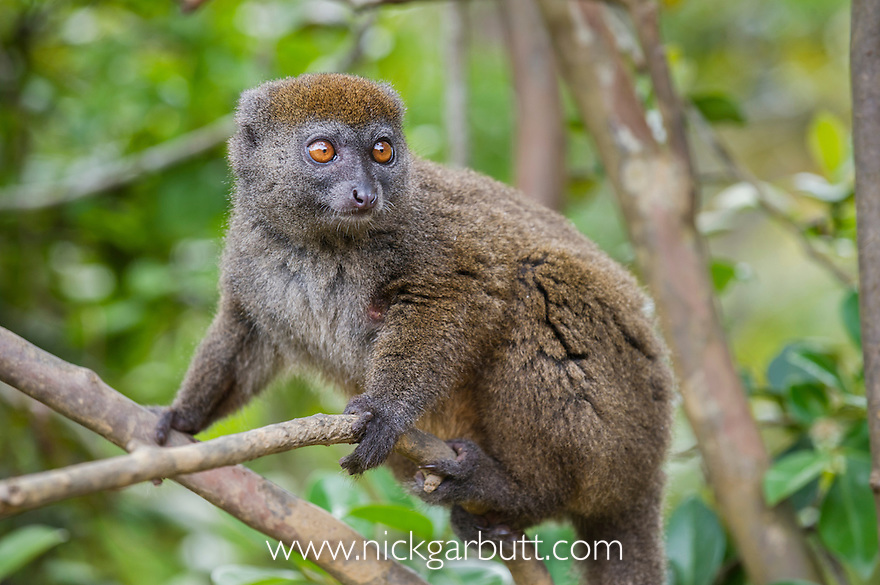 Northern Grey Bamboo Lemur (Hapalemur occidentalis). Marojejy NP, north eastern Madagascar.