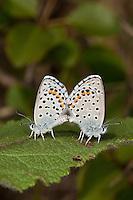 Graublauer Bläuling, Westlicher Quendel-Bläuling, Paarung, Kopula, Kopulation, Pseudophilotes baton, Lycaena baton, Baton Blue, Bläulinge, Lycaenidae