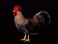 "In the photo the race Bielefelder  chicken.<br /> Bielefelder Kennhuhn or Bielefelder is a German breed of domestic chicken. It was created in the 1970 by Gerd Roth using Amrocks (Barred Rocks), Malines, New Hampshire and Rhode Island Red. It has gained the term the ""Uber Chicken"" due to its many desirable characteristics.[1]<br /> <br /> Bielefelder (Bie-le-fel-der) is dual purpose breed, although their primary is egg laying as hens produce about 230 large to extra large brown eggs a year. Meat production is a secondary purporse.[1] Male and female chicks look different directly after hatching, which makes chick sexing extremely easy. It is a so-called auto-sexing breed. They have a very docile disposition and easy to tame and kid-friendly. Recommended mating ratio is 12 females to 1 male with a roost height of a meter (2 to 4 feet<br /> Photo Roosters and Hens Ornamental breeds, Italian champion breeds August 2020."