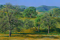 Fiddleneck , popcornflower and valley oaks<br />