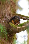 A Douglas Squirrel munching on a pine cone in the woods outside the visitors' center at Fort Clatsop, a replica of the fort where Lewis and Clark overwintered in 1805-1806 near Astoria, Oregon in the Pacific Northwest near the mouth of the Columbia River