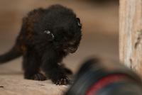O pequeno primata,  Saguinus ursulus, é criado por família as margens da rodovia PA 150 como animal de estimação.<br /> Estado do Pará, Brasil.<br /> ©Paulo Santos