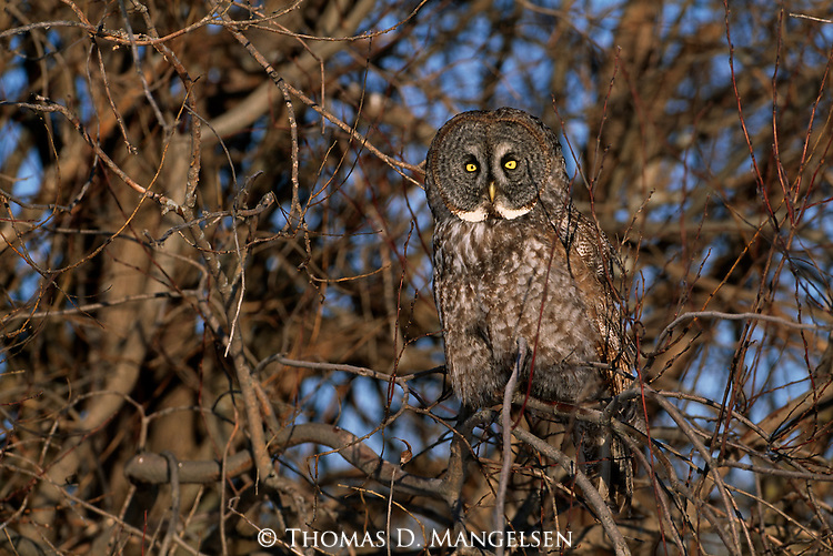Great Gray Owl perched in a tree in Minnesota.