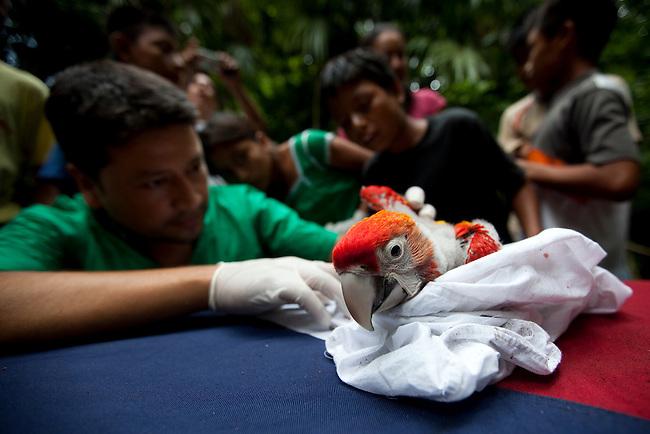 Guatemala, Mayan Biosphere, Peten, Scarlet Macaws, WCS field worker examin a Scarlet Macaw chick