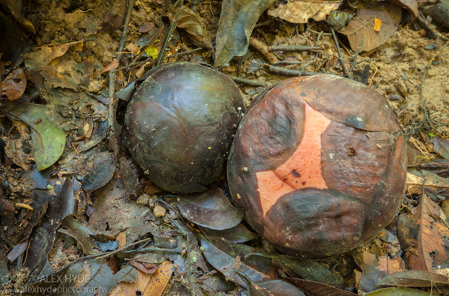Giant flower buds of Rafflesia tengku-adlinii, Center of Maliau Basin, Sabah's 'Lost World', Borneo. This is the rarest of the three known species of the Rafflesia genus, discovered in 1988. Rafflesia plants are parasitic, having no roots, leaves or stem. They form flowers directly off their host, a Liana vine {Tetrastigma sp.}. The Maliau Basin is an important site for this species.