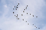 Damon, Texas; a flock of double-crested cormorants flying overhead in a v formation